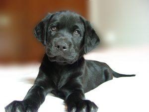 Schonen oren puppy